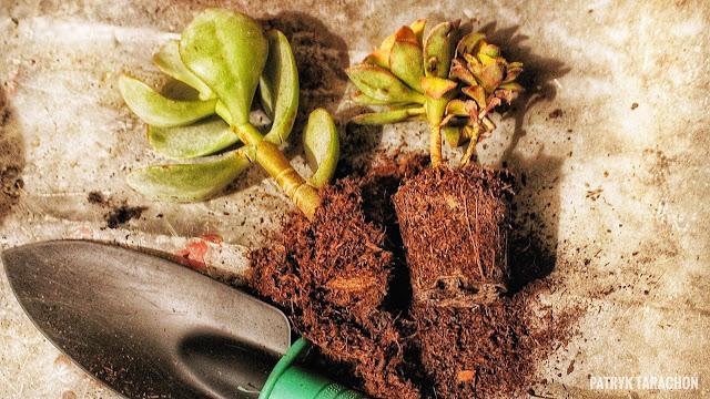 Dlaczego warto dbać o rośliny i jaki wpływ na emocje, samopoczucie i rozwój mają rośliny? Jak przesadzać sukulenty, aby miały warunki i ładnie prezentowały się w doniczce? Kiedy przesadzać i jaka jest najlepsza pora na przesadzanie roślin? Wpływ roślin na człowieka!